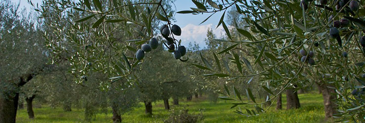 Olea Estates olive orchards