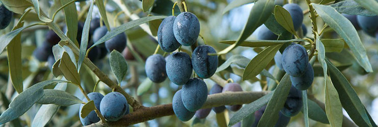 Fresh, ripe Olea olives